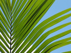Palm-frond-10f