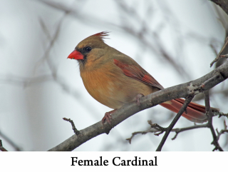 Female Cardinal web