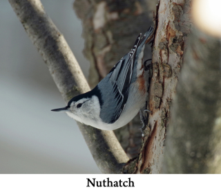 Nuthatch web 2