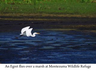 Great Egret web