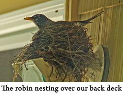 Robin web