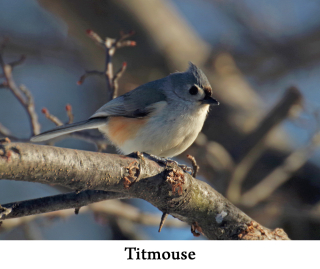 Titmouse web 2