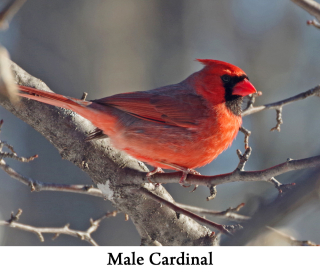 Male Cardinal web 2