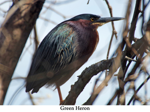 Green Heron web