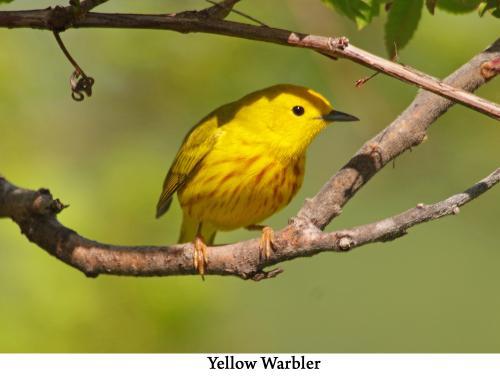 Yellow Warbler web