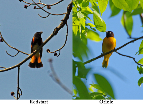 Redstart and Oriole