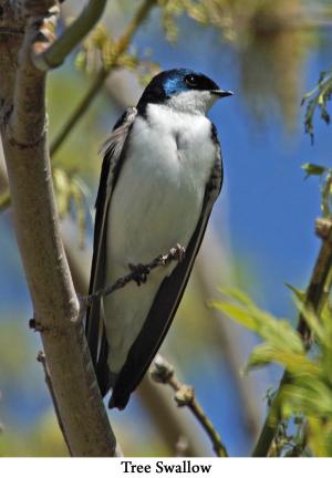 Tree Swallow web