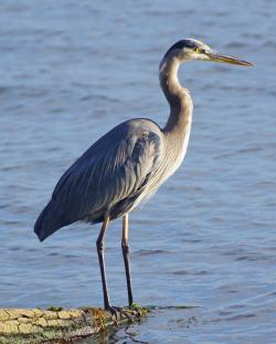 Great Blue Heron web 2