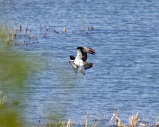 Osprey web